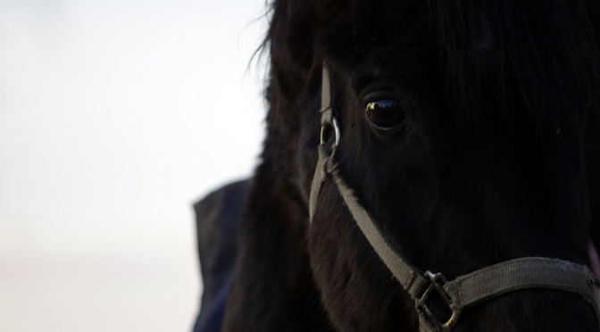 Close-up of a black horse watching straight into the camera. Free photo footage