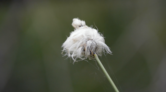 A flower fluff and its white florets. Free HD video footage