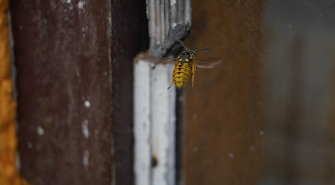 A hornet – yellow jacket wasp. Free HD video footage
