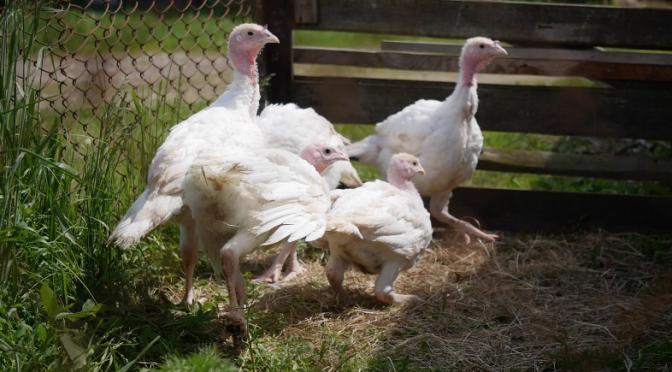 Turkey farm. Free HD video footage
