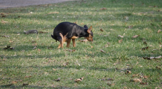 A miniature pinscher is pooping on the grass. Free HD video footage