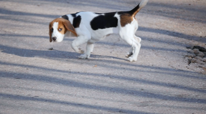 Beagle dog follows its master. Free HD video footage