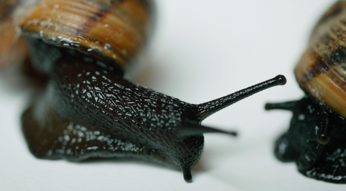 Black snail exploring environment. Free HD video footage