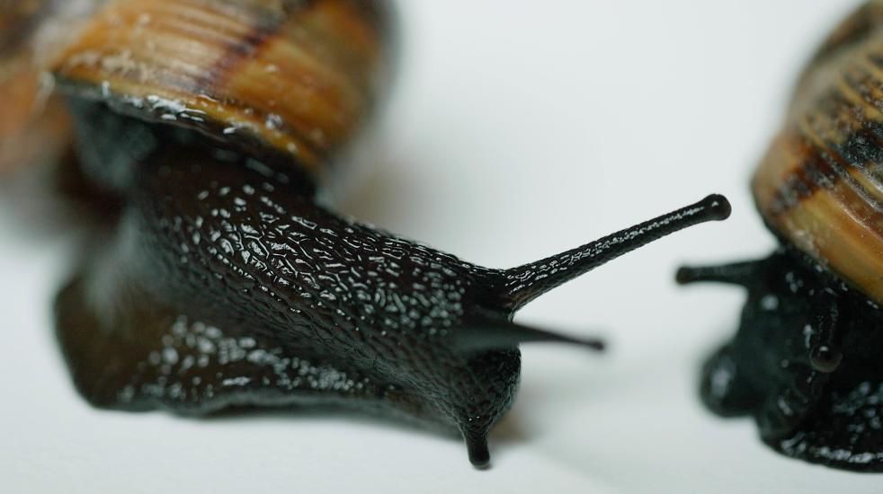 Black snail exploring environment.Free HD video footage