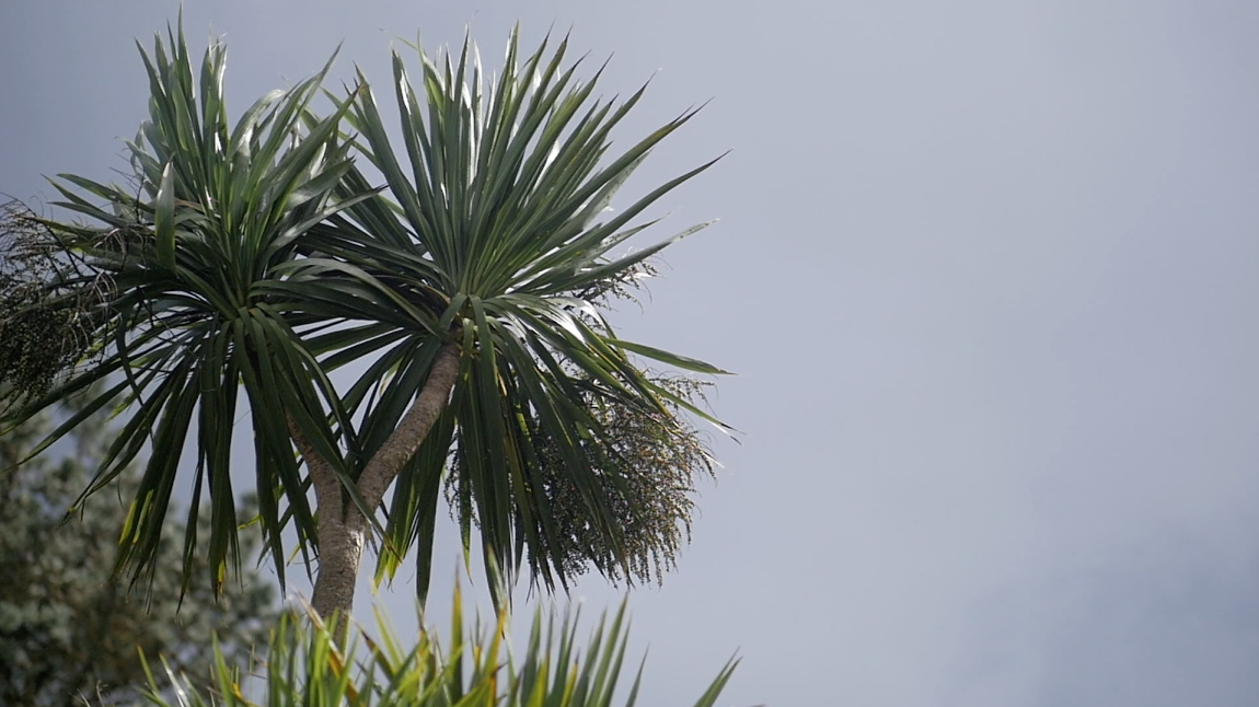 Palm tree bowing in the wind. Slow motion video footage